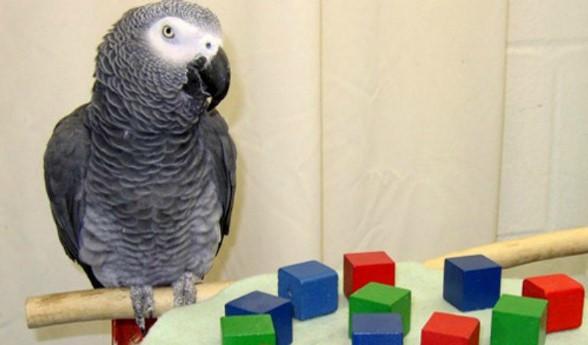 Alex – papuga, która umiała liczyć